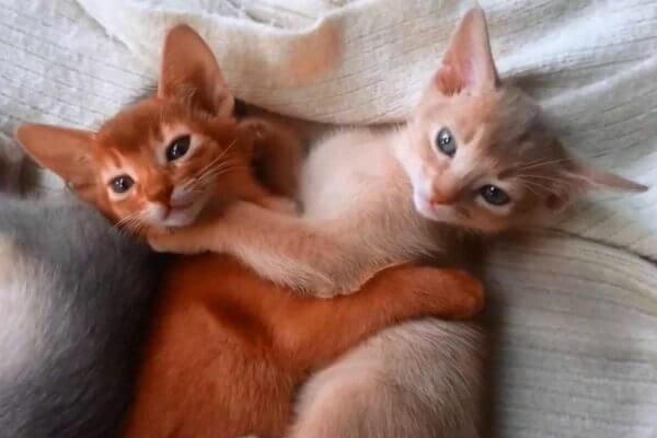cómo cuidar gato abisinio