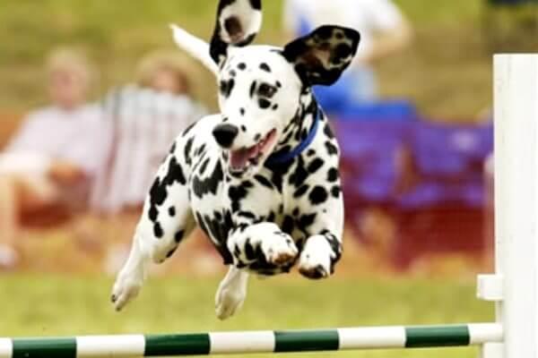 cómo adiestrar perro dálmata