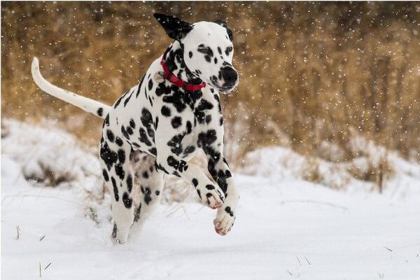 talla y peso perro dálmata
