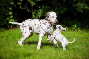 cuál es el temperamento del perro dálmata