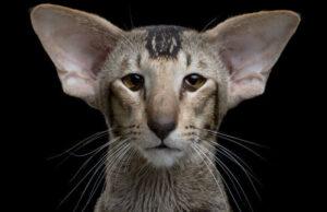 gato oriental o extranjero