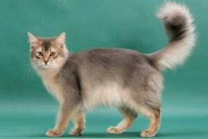 cómo es el gato somalí