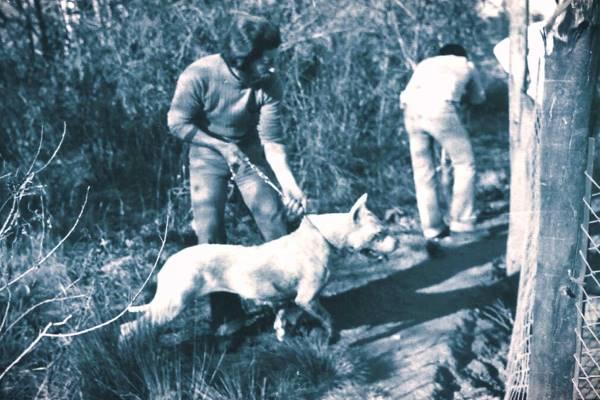 cuál es el origen del dogo argentino