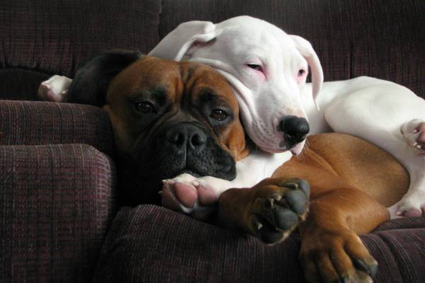 dogo argentino raza de perro agresiva