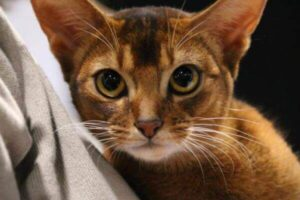 aspecto físico raza de gato abisinio