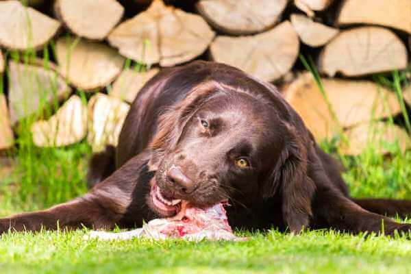 cómo alimentar a un flat coated retriever