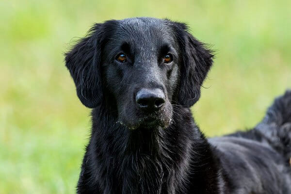 anatomia flat coated retriever