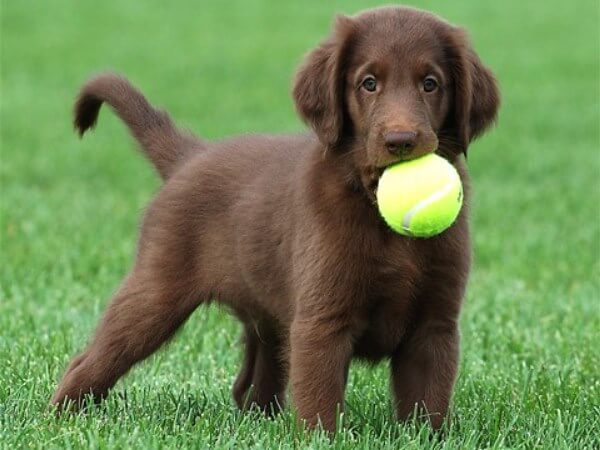 Origen Flat coated retriever