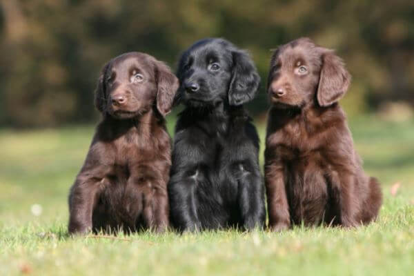 flat coated retriever adopción
