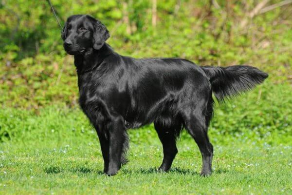 cómo cuidar flat coated retriever