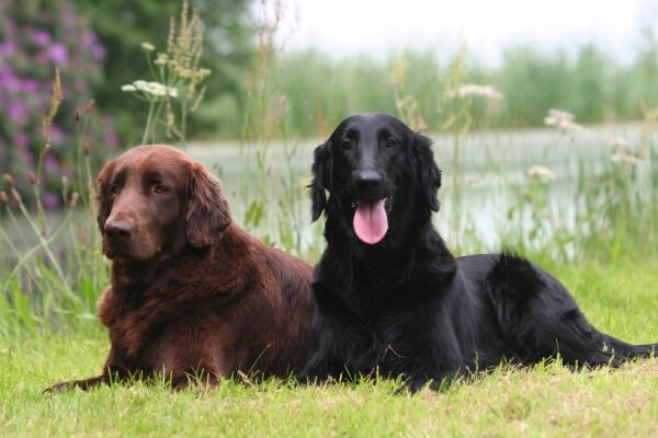 flat coated retriever enfermedades