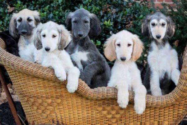 cachorro galgo afgano venta