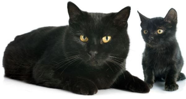 gato Bombay comportamiento