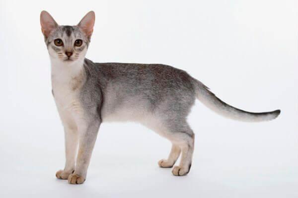 diferentes colores raza de gato abisinio