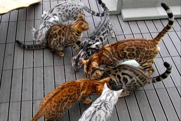 gato bengalí macho colores