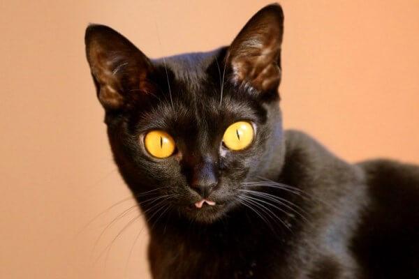 gatos bombay puros