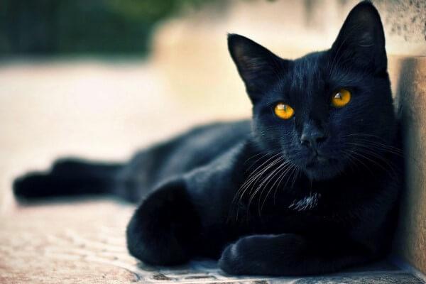 Raza gato Bombay origen