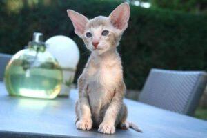 cachorro gato oriental pelo corto