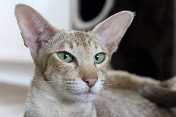 qué carácter tiene el gato oriental