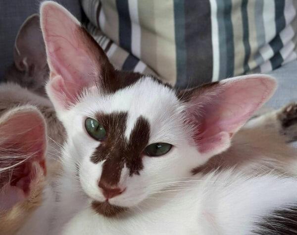 tipos y colores gato oriental