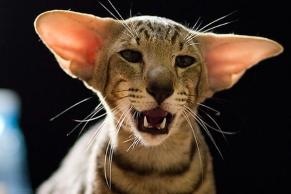 cómo se comporta el gato oriental