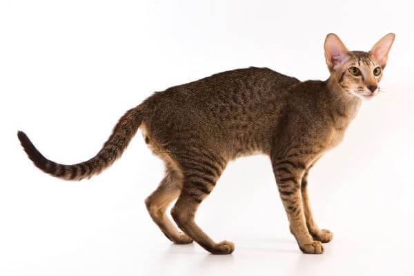 cómo es el gato oriental de pelo corto
