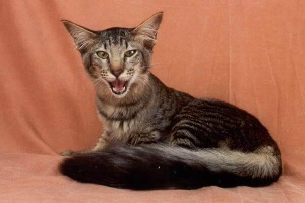 cómo es el gato oriental de pelo largo