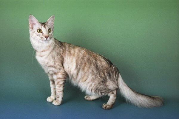 anatomía gato oriental