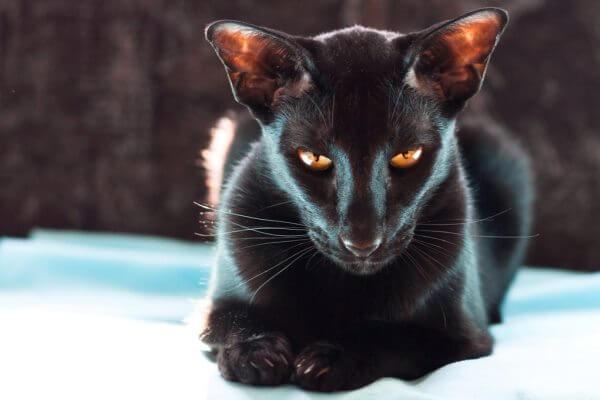 historia y origen gato oriental