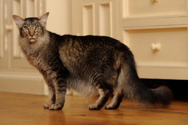 cuál es el origen del gato oriental