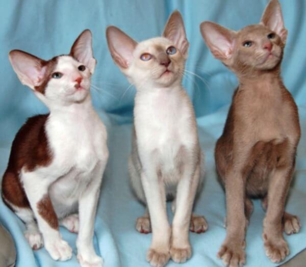 gato oriental pelo largo variedades
