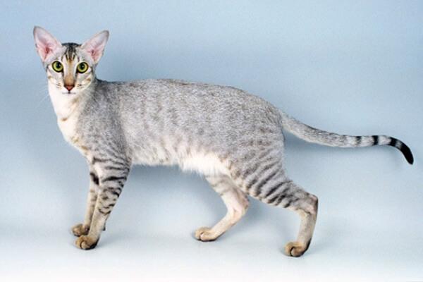 gato oriental
