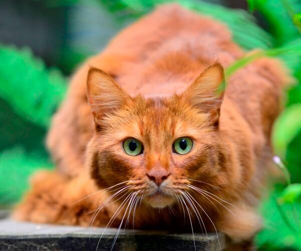 qué carácter tiene el gato somalí