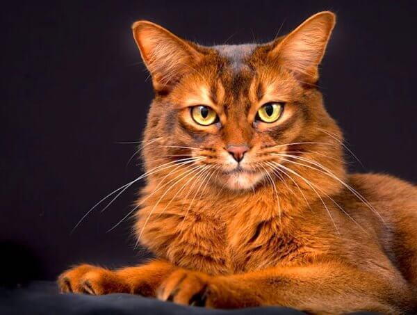 gato somalí caracterísiticas físicas