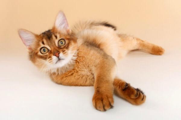 aspecto físico gato somalí