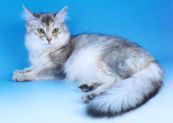 gato somalí silver