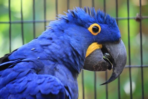 cómo criar a un guacamayo azul