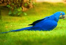 guacamayo azul o jacinto