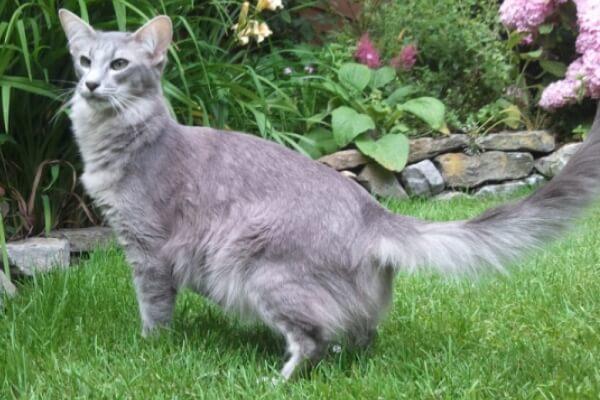 procedencia gato oriental pelo largo