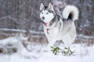 características morfológicas husky siberiano