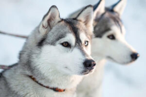 cuánto mide husky siberiano