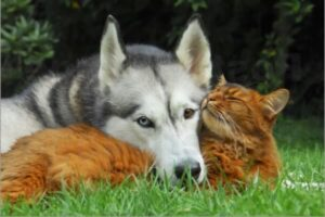 husky siberiano relación gatos