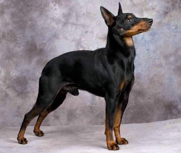 cómo cuidar a un perro de raza manchester terrier