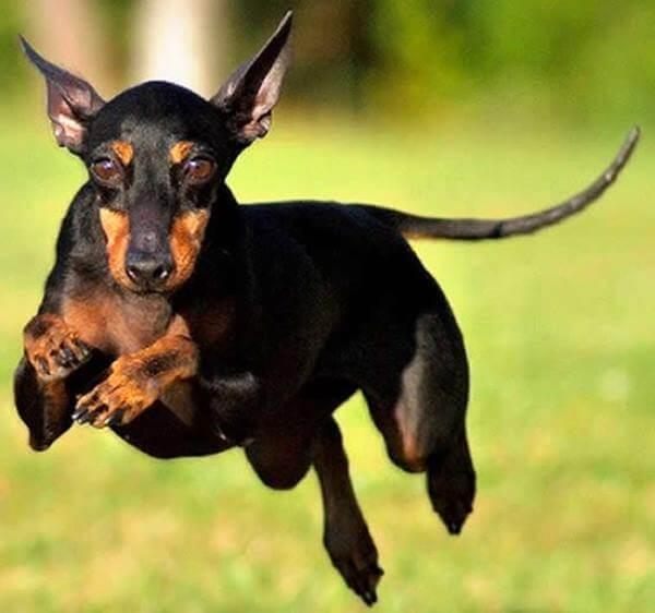 cuál es el carácter del perro manchester terrier