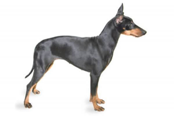 Manchester Terrier características