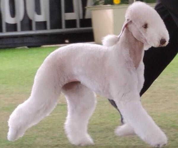qué es el perro bedlington terrier