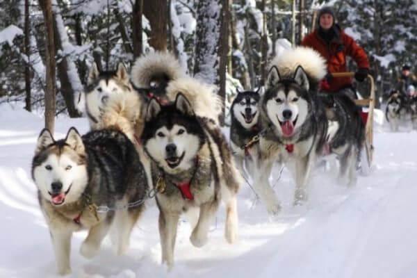 razas de perro de trineo alaska malamute