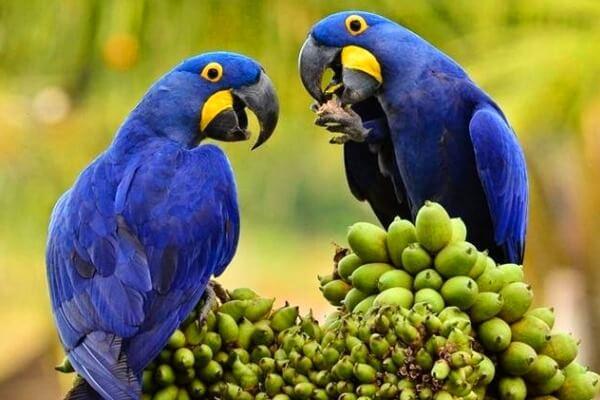 qué come el guacamayo azul