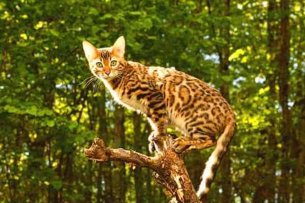gato bengalí descripción