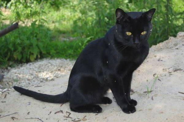 gato Bombay apariencia general